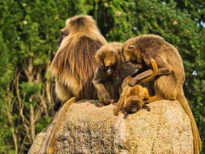 Affen lausen