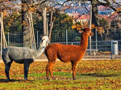 Kamele am Rosensteinpark