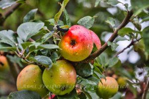Erntereife Äpfel