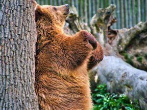 Der Bär hat's nicht schwer