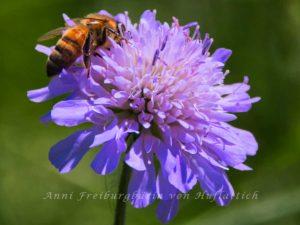 Biene auf Witwenblume im Rosensteinpark