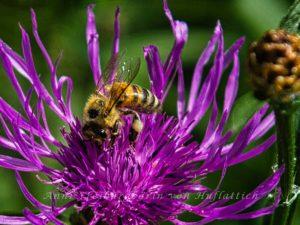 Pollen an den Beinen