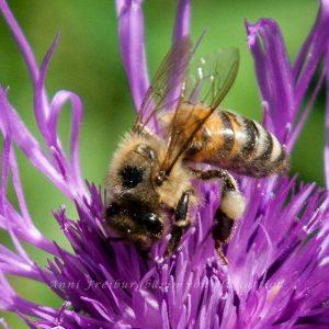 """Schön sind die """"Höschen"""" zu sehen, gesammelter Pollen an den Beinen"""