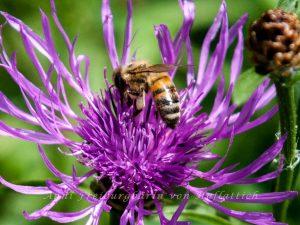 Diese Biene ist glücklich