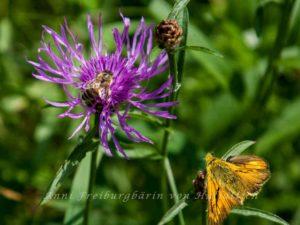 Blüte, Schmetterling, Biene - der Käferfehlt