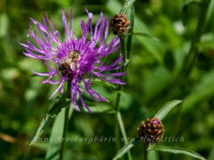 Blüte mit Biene, aber der Schmetterling fehlt