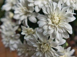 Weiße Chrysanthemenblüten