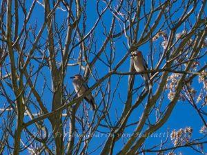 Eichelhäher im Frühlingsrausch