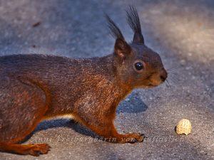 Ein selten dummes Exemplar von Eichhörnchen