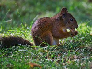 Eichhörnchen im Herbst im Rosensteinpark