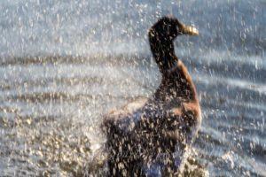 Unscharfe schneeproduzierende Ente im Rosensteinpark (Schrödinger Ente)