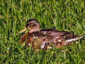 Lecker Mittagessen im Rosensteinpark: Ente an Spitzwegerich