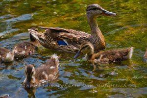 Stolze Entenmutter im Rosensteinpark