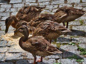 Entenbande im Rosensteinpark