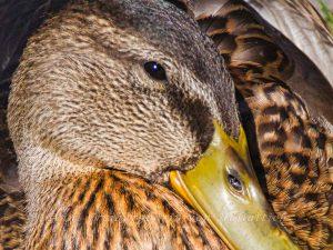 Ente aus dem Rosensteinpark