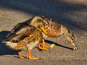Speisende Enten im Rosensteinpark