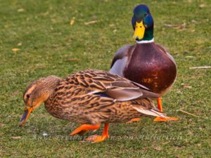 Unser Entenpärchen aus dem Rosensteinpark