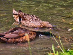 Gründelnde Enten im Rosensteinpark