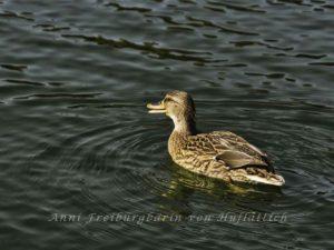 feucht-fröhliche Ente im Rosensteinpark
