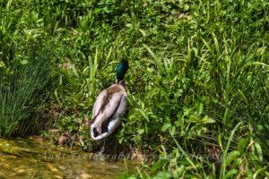 Ente im Rosensteinpark