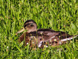 Juvenile Ente im Rosensteinpark