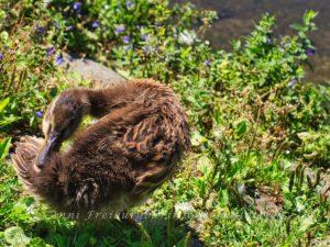 Putzsüchtige Ente