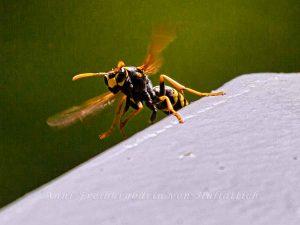 Gefahr gebannt: Feldwespen verursachen keine Bienenstichallergie