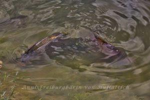Lecker Fisch im Rosensteinparkteich