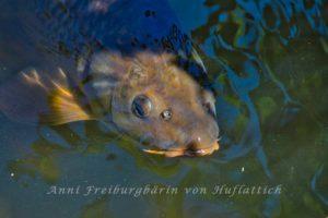 Fisch im Rosensteinparkteich