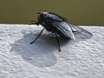 Fliege auf Balkonbrüstung
