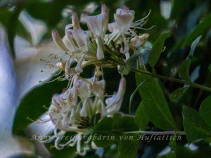 Blütenstand Geißblatt
