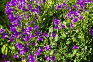 Die Baumarktglockenblume - Lohn der Lädierungen