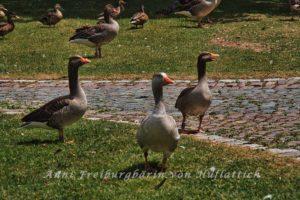 Graugänse und Enten im Rosensteinpark