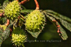 Kastanienfrüchte