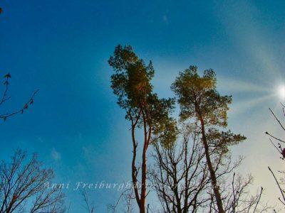 Kiefern in winterlicher Sonne