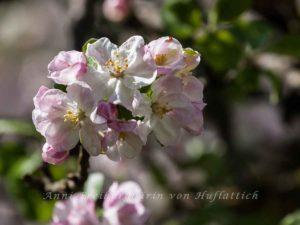 Kirschblüte aus St Ulrich