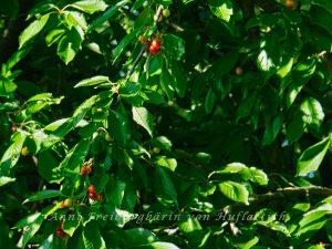 Kirschen in unserem Garten