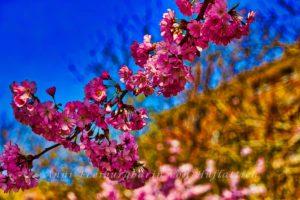 Japanische Kirsche in Nachbars Garten