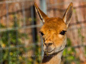 Lama aus Lima im Rosensteinpark