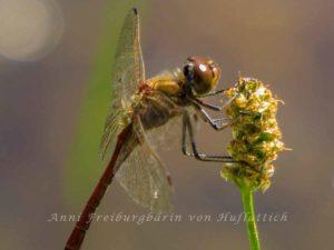 Libelle im Rosensteinpark an Spitzwegerich