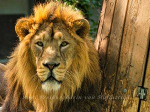 Noch ein Löwe im Zoo