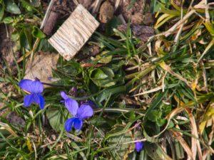 Märzveilchen im Rosensteinpark