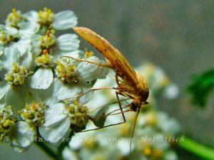 Mücke auf Blüte