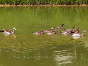 Nilgansfamilie im Rosensteinpark
