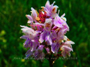 Orchideen für den heimischen Magerrasen