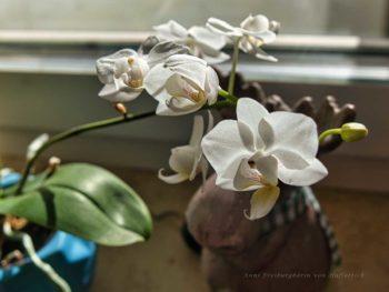 Miniorchidee
