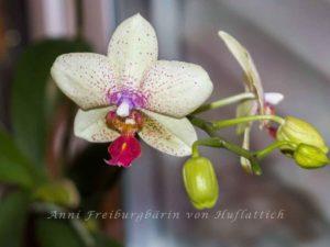 Farbenprächtige Orchidee