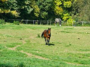 Pferd mit Pferdeäppel