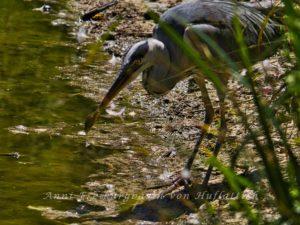 Graureiher mit Fisch im Rosensteinpark