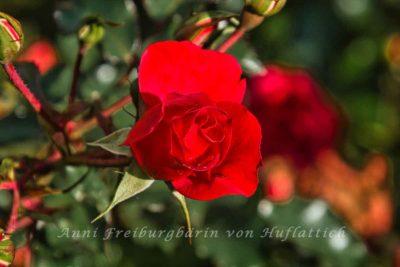 Eine Rosensteinparkrose